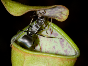 Nepenthes_gracilis_with_ant_cropped