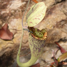 How the Raffles Pitcher Plant Choose a Perfect Time to Kill